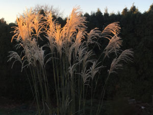 Miscanthus -- Maidengrass