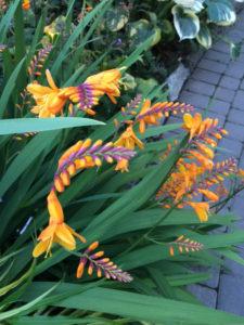 crocosmia at Buchart Gardens